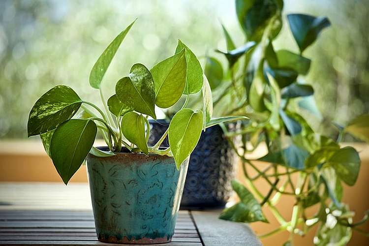 Money Plant Vastu Tips | Importance, Benefits, Placement and Other Details